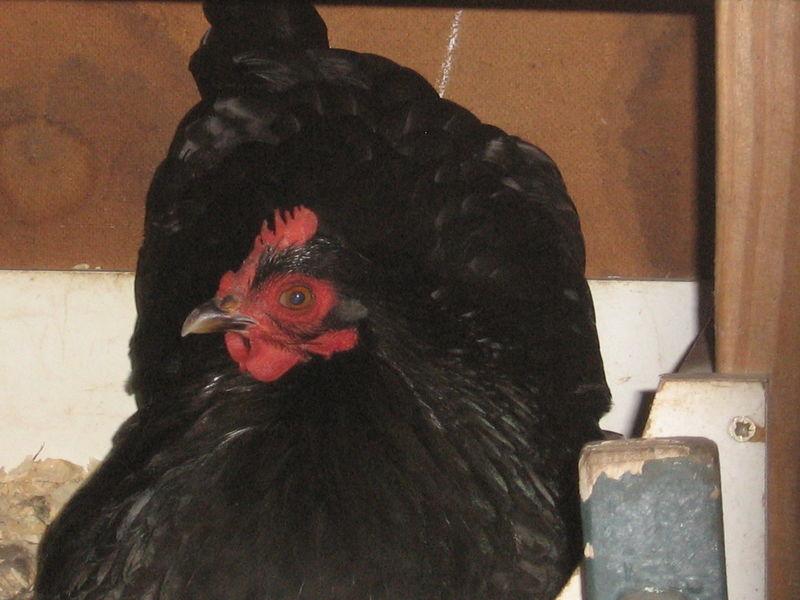 Chickens 007