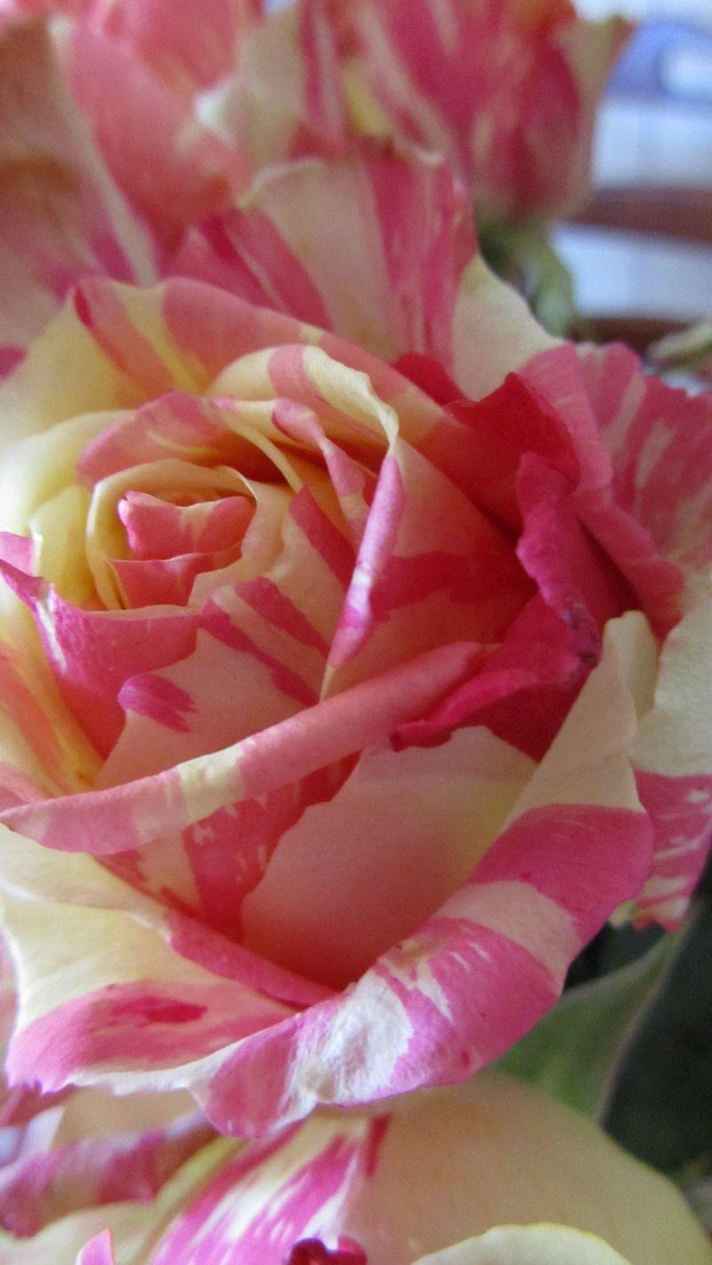 Rose 018 (1216 x 2160)