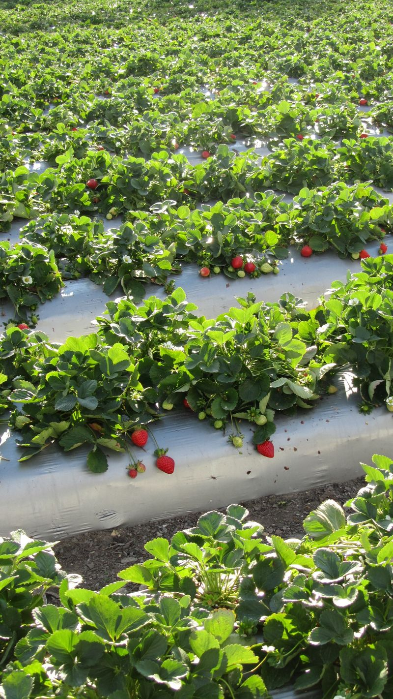 Strawberry picking9