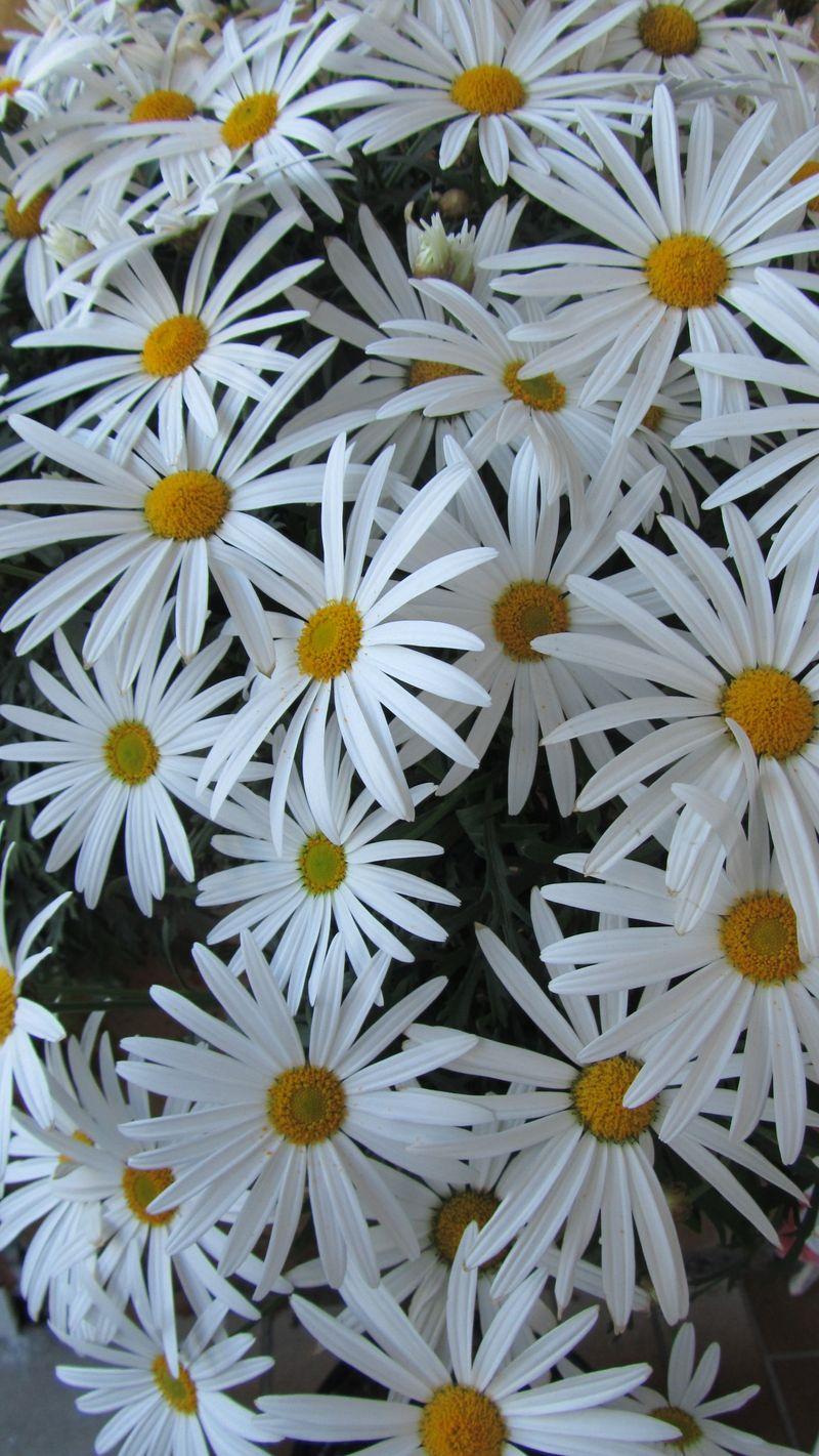 Blooms 049 (1216 x 2160)