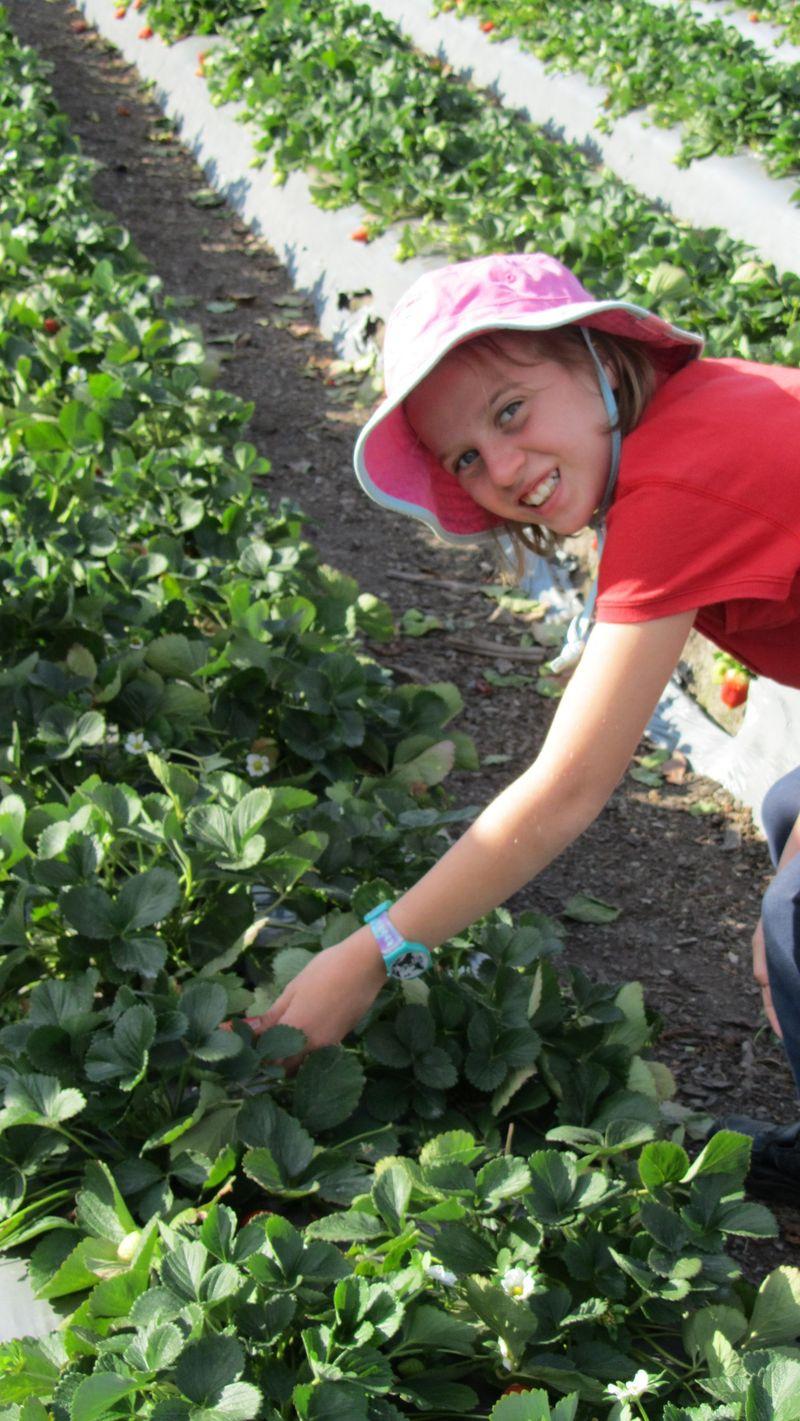 Strawberry picking2