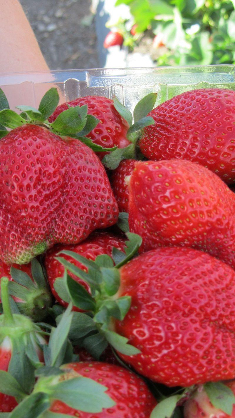Strawberry picking7