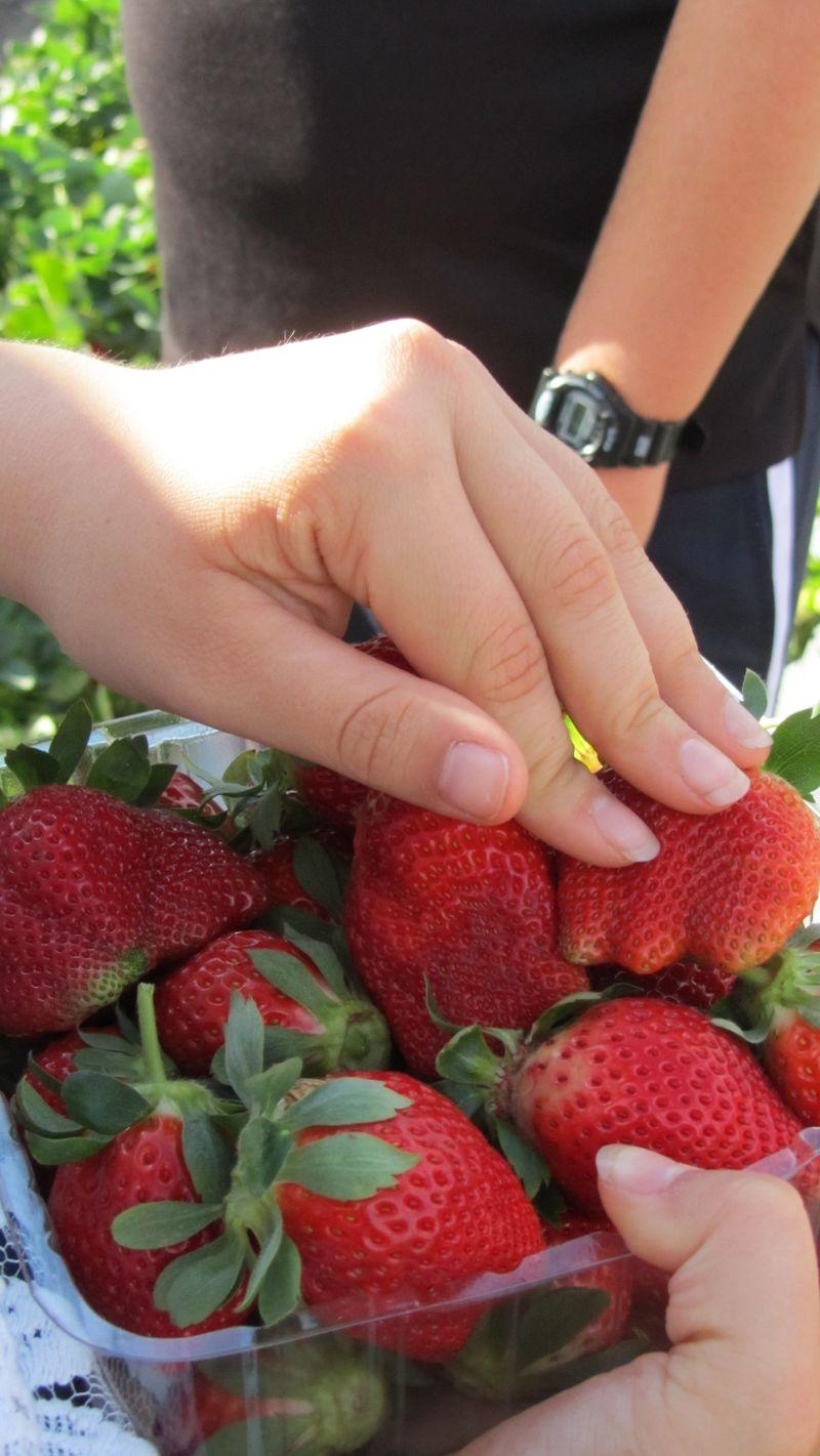 Strawberry picking12