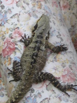 Lizard_002