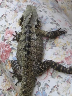 Lizard_003